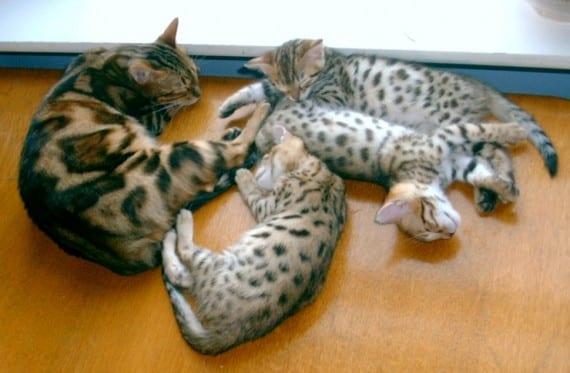 gatos atigrados