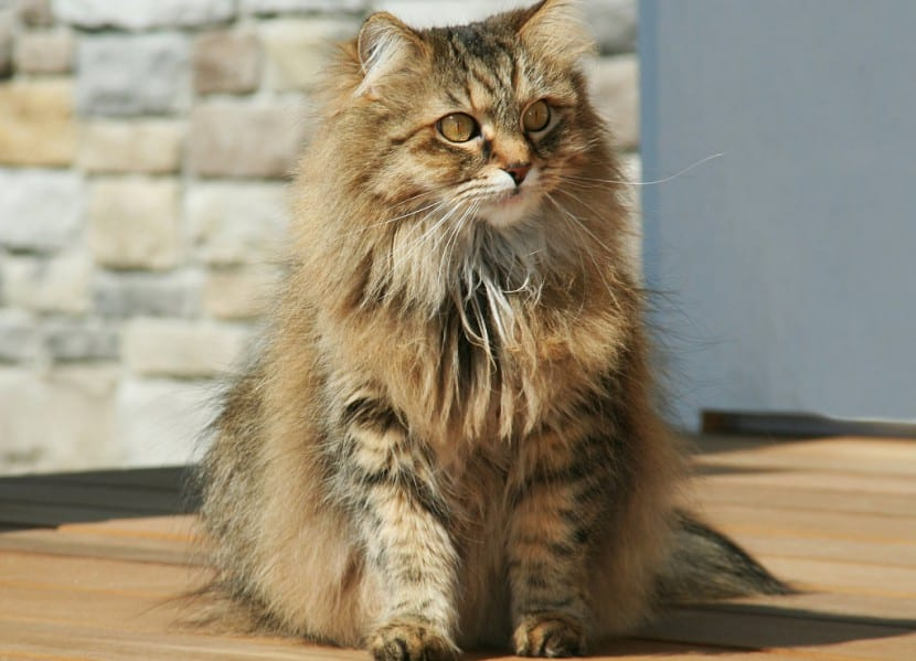 Gato Maine Coon adulto