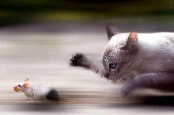 gatos cazando