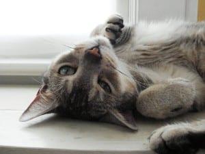 Si tu gato muestra el abdomen, es porque te quiere