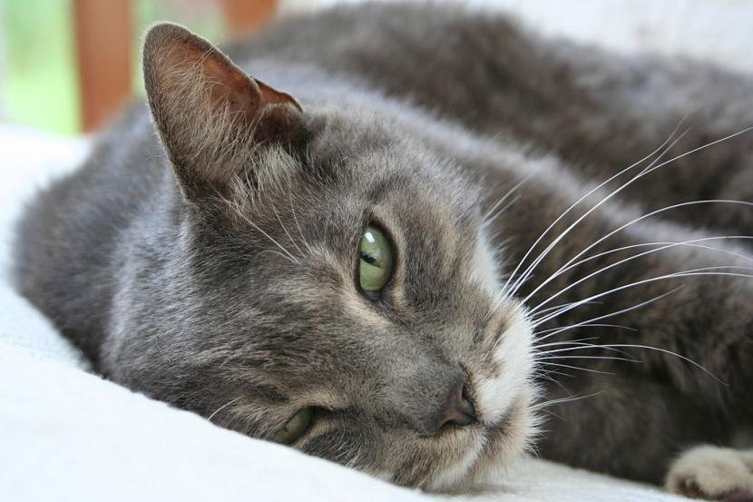 Gato grisáceo