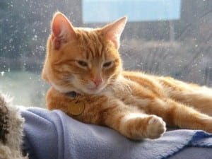 Gato de pelo naranja