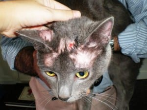 Gato con heridas de sarna en la cabeza