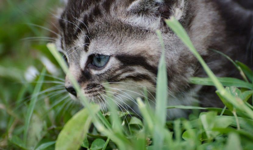 Los gatitos aprenden a cazar pronto