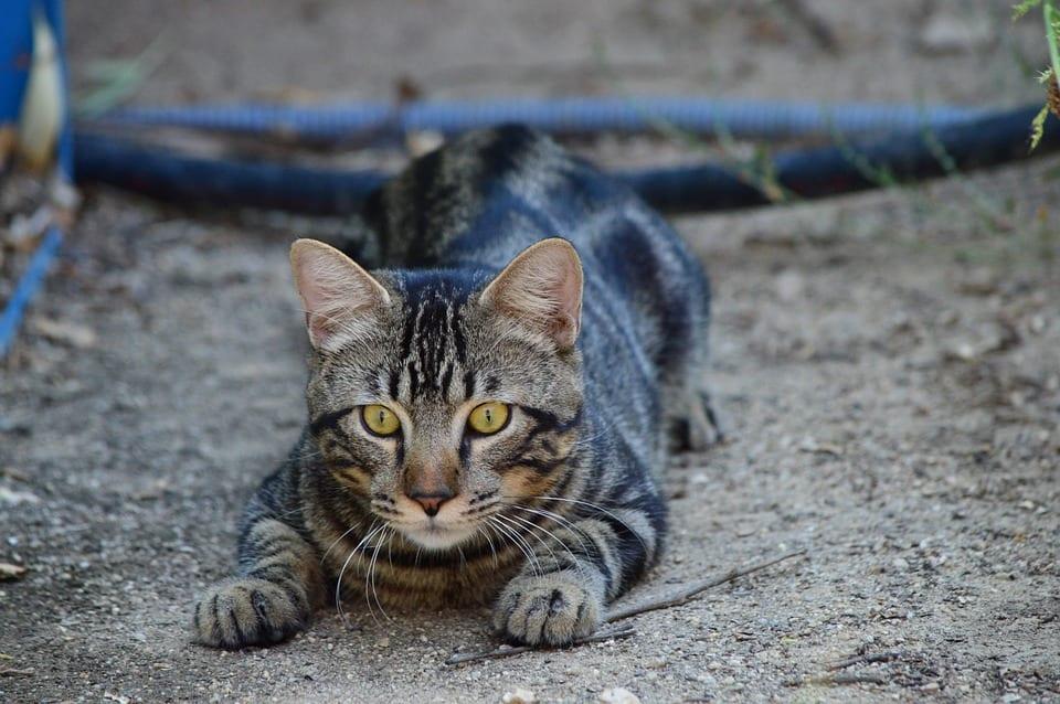 Gato acechando su presa