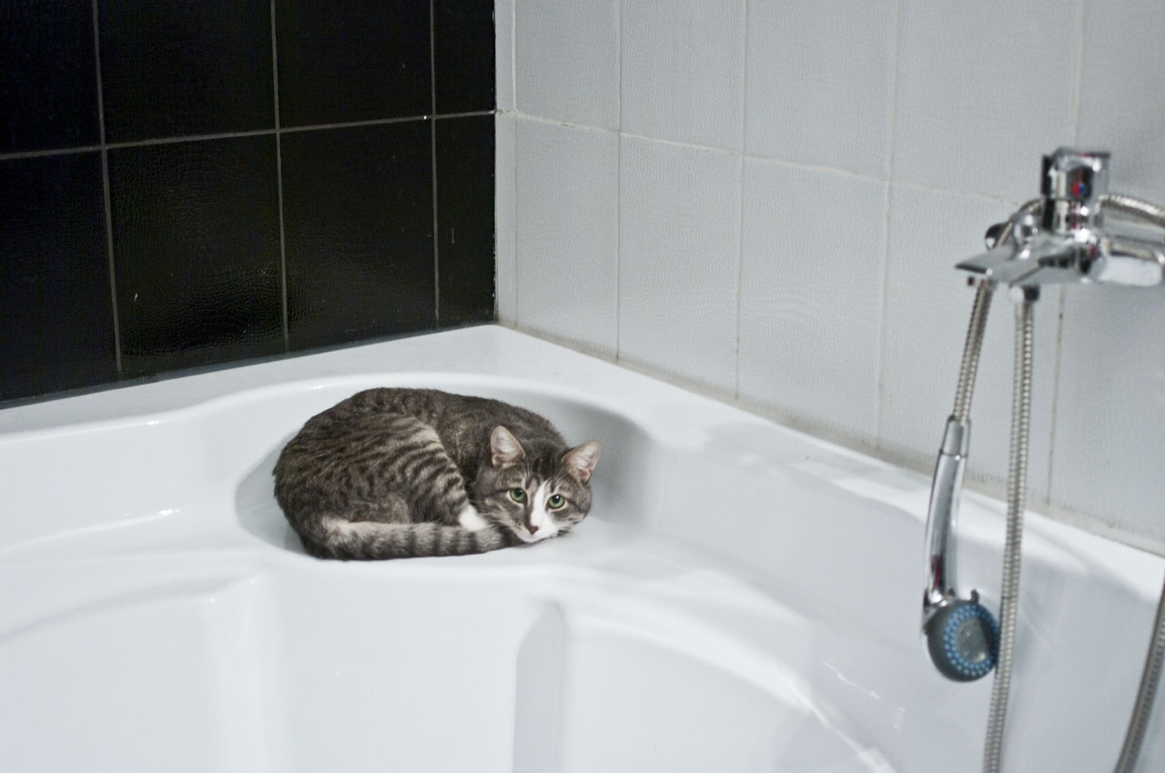 Los gatos no suelen querer bañarse