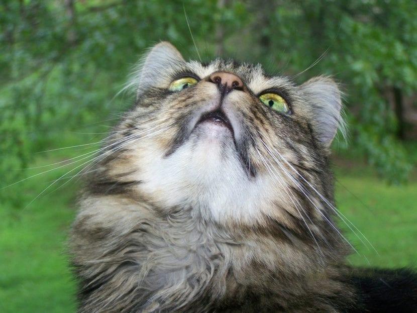 El Maine Coon es un gato grande