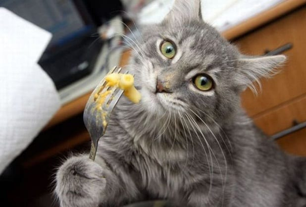 gatos comiendo