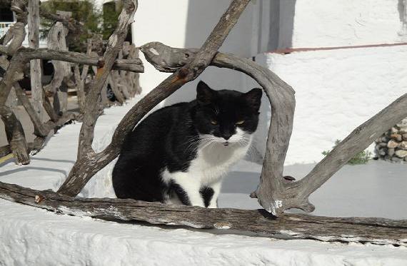 Gato Europeo en Es Grau (Menorca)