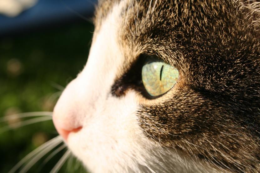 Tercer párpado en gato