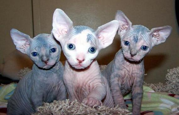 Tres gatitos Sphynx