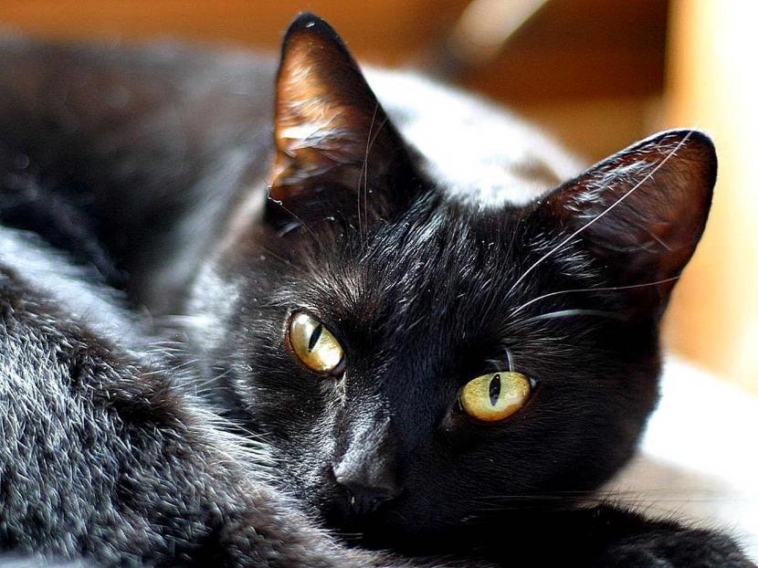 Gato negro con ojos sanos