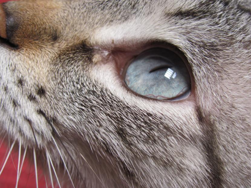Gato con síntomas de tercer párpado