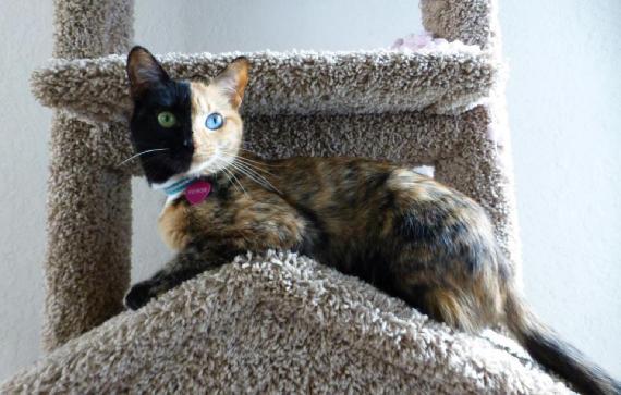 Venus, el gato quimera de dos caras