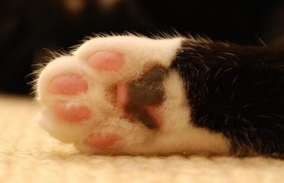 Pata de gato blanco y negro