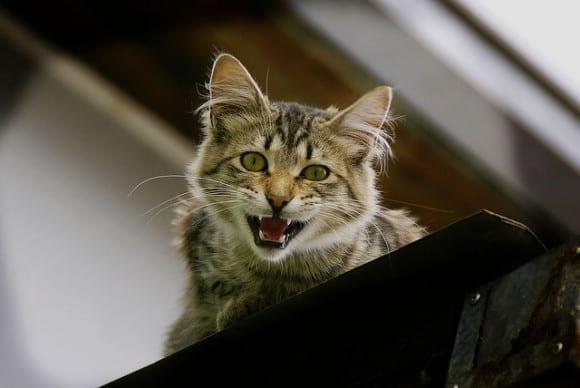 gato-enojado