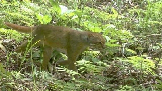 El gato de Borneo