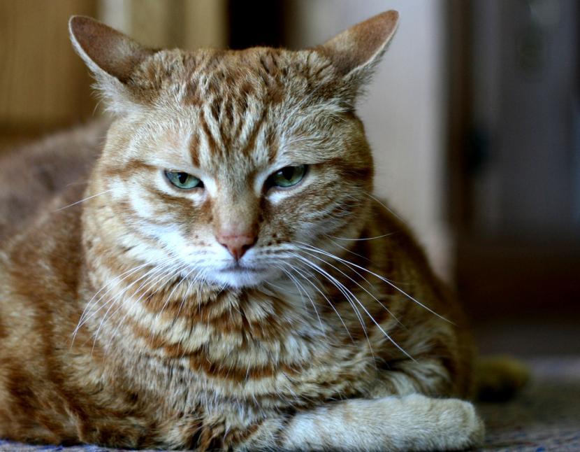 Causas de inflamación del abdomen en gatos