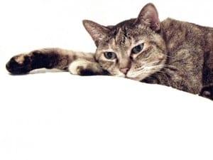 Gato con el estómago hinchado