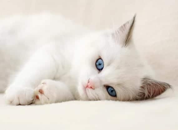 Los gatos blancos y la sordera