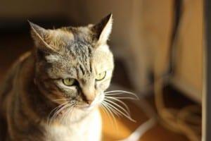 Gato adulto y enfermo
