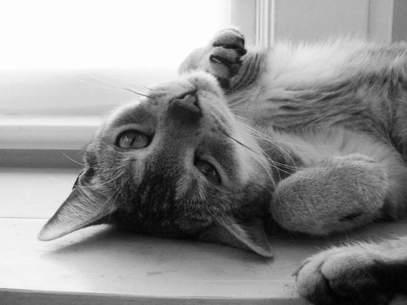 Contagio de tuberculosis por gatos