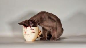Gato comiendo