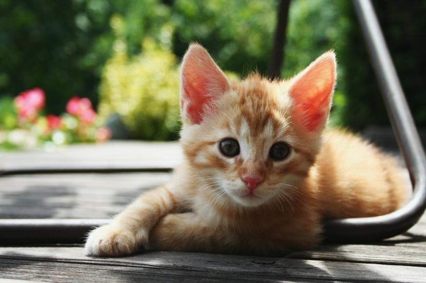 Gato naranja de dos meses