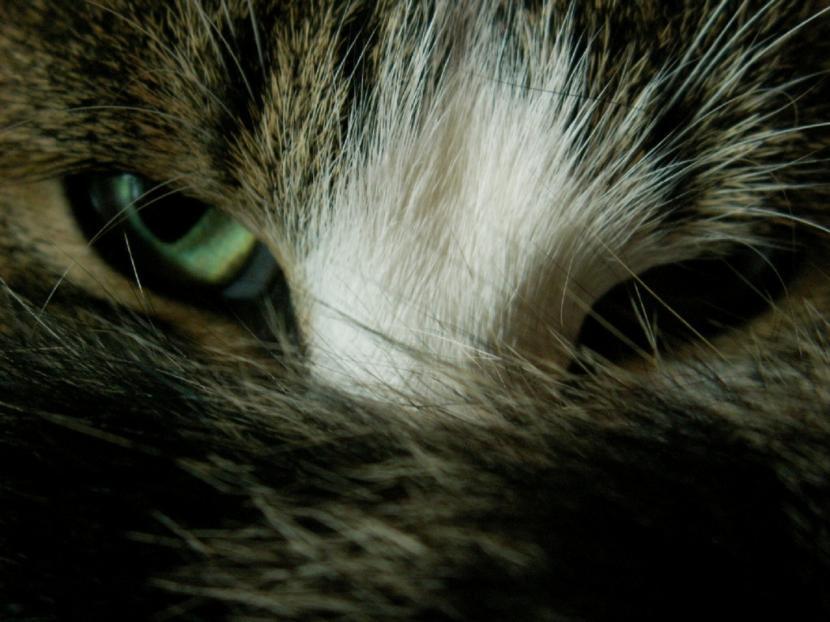 Los ojos de los gatos pueden enfermar