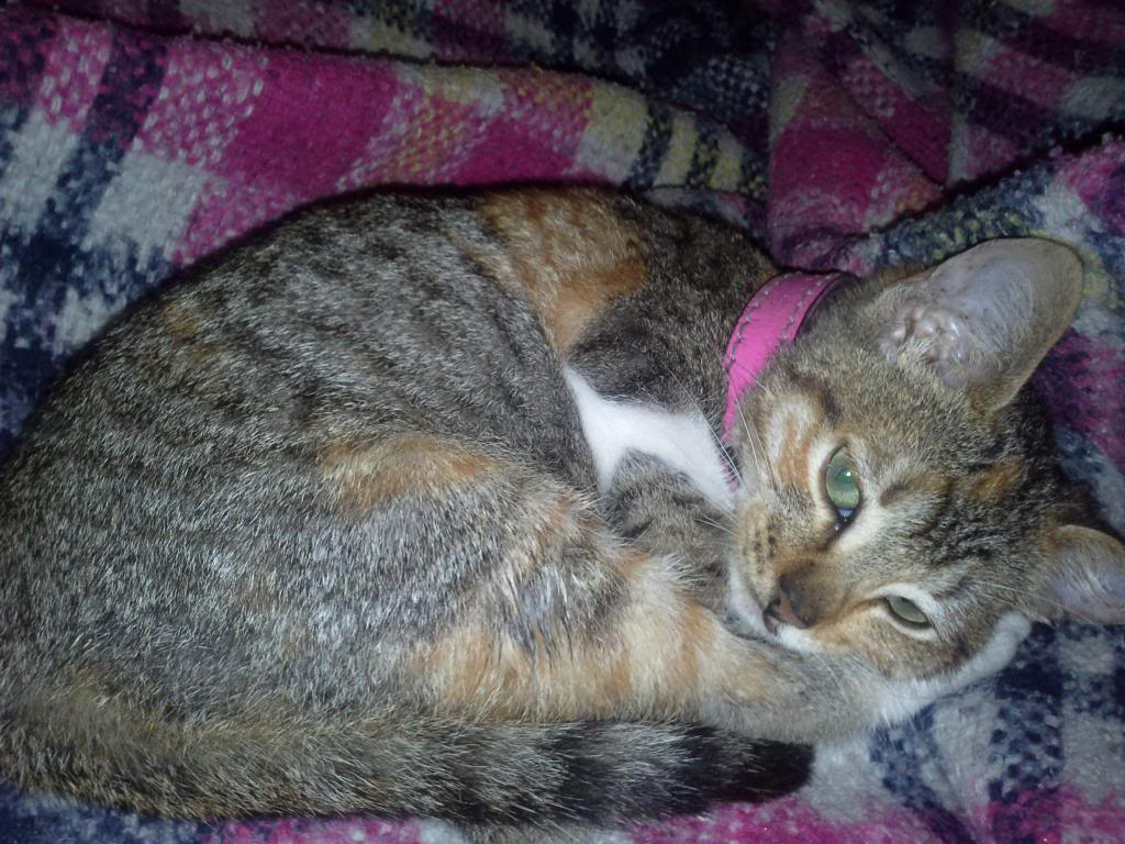 Gato tricolor atigrado