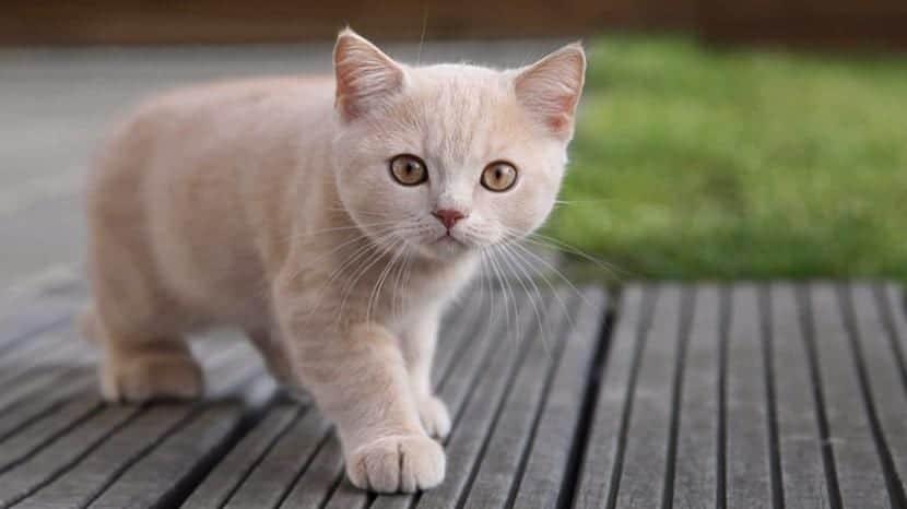 Gatito canela