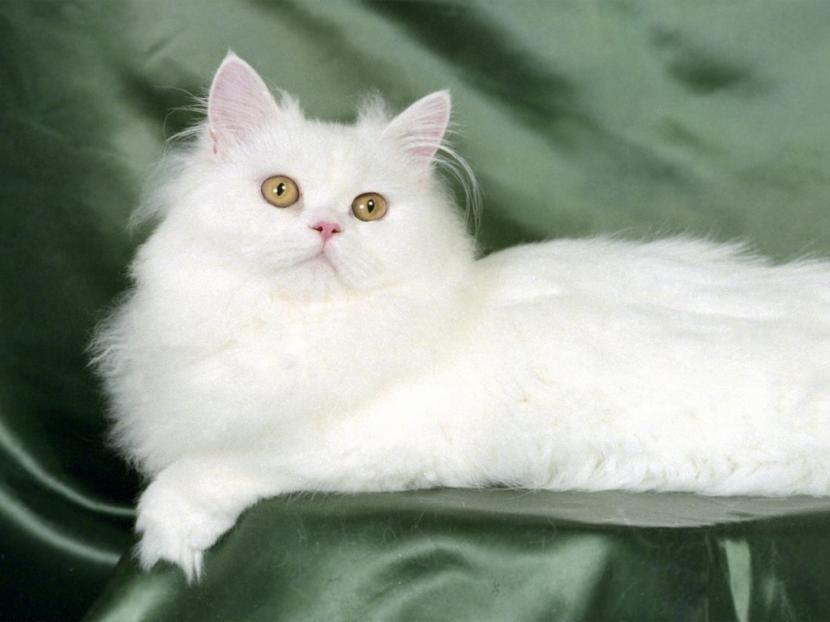 Gato blanco