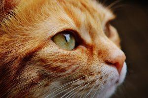 Los ojos de los gatos pueden decirnos cómo se encuentra