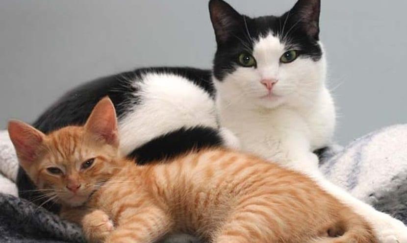 Celo y apareamiento de los gatos