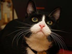 Gato blanco y negro mirando
