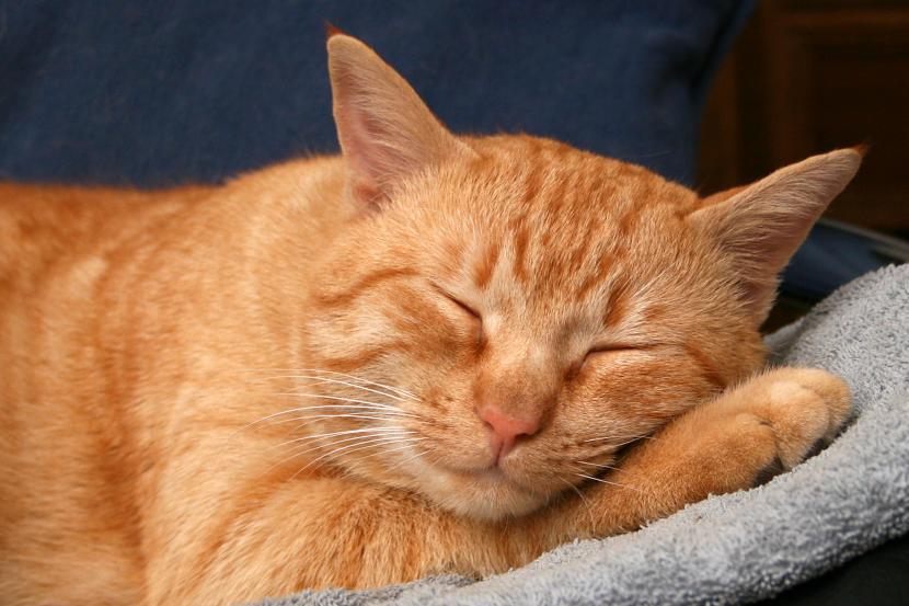 Los gatos pueden tener espasmos mientras duermen
