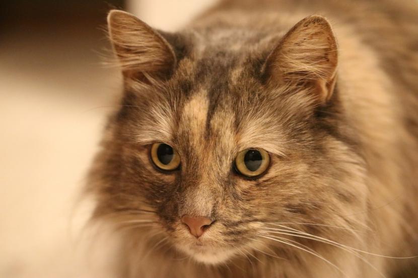 Gato con mirada fija