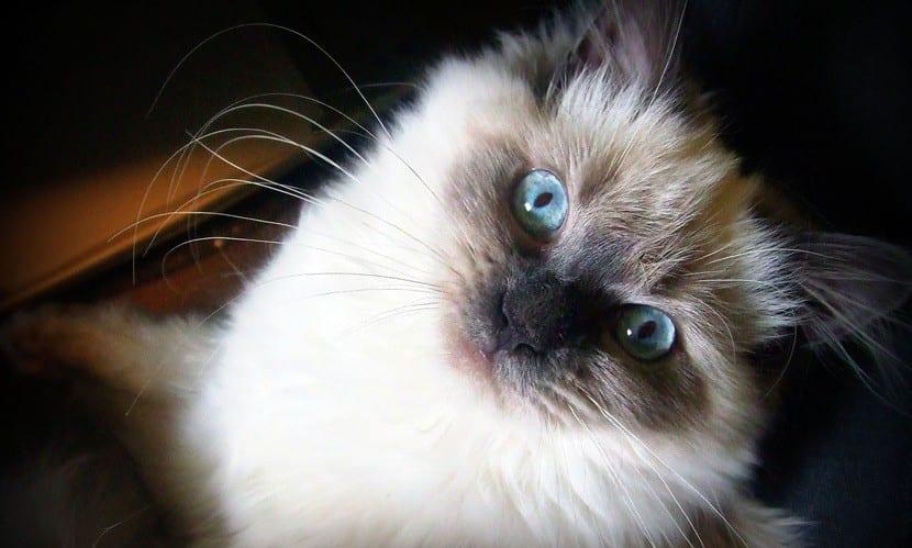 El gato himalayo es un animal originario de Suecia