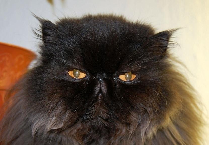 Gato persa de pelo negro