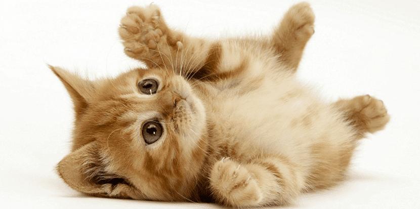 gato-mascota