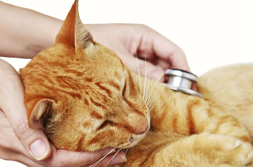 Llévalo al veterinario si sospechas que tiene leucemia felina