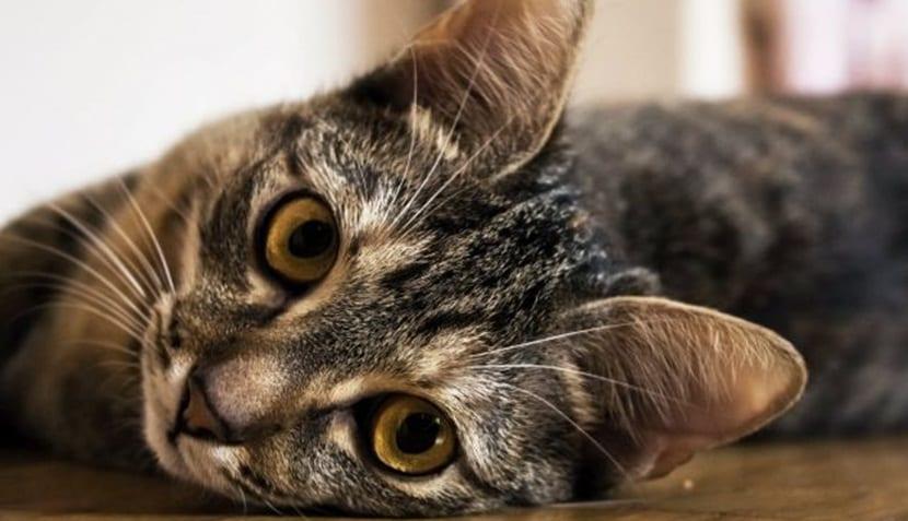pastilla gato