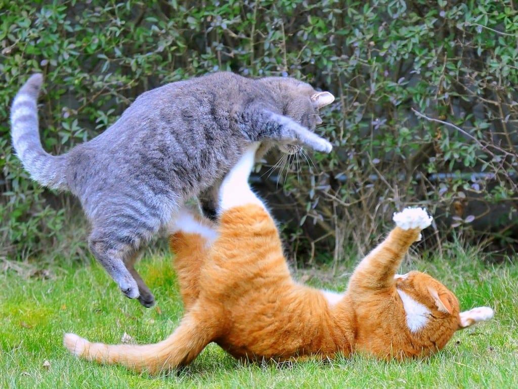 Gatos peleándose