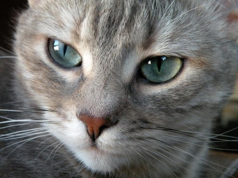 Los ojos de los gatos han de estar bien cuidados para estar sanos