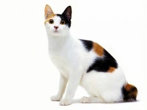 Gato bobtail japonés