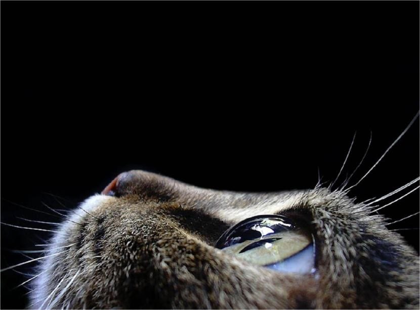 Los ojos de los gatos pueden padecer diversas enfermedades