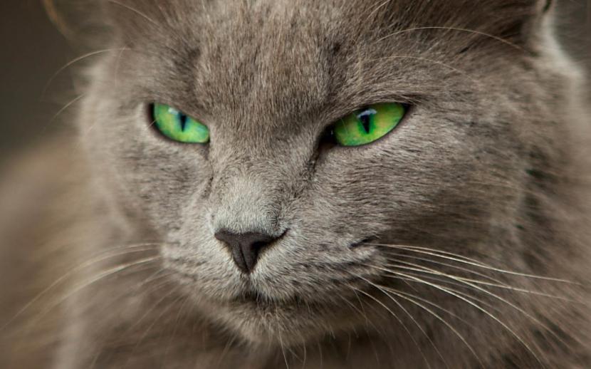 Ojos del gato gris