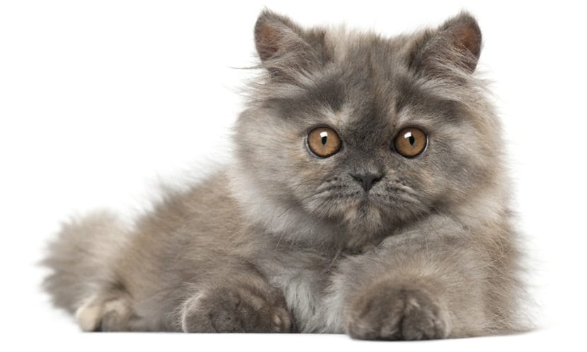 Persian kitten, 3 months old, lying in front of white background
