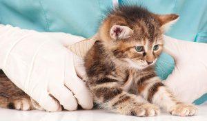 Desparasita a tu gato de manera regular