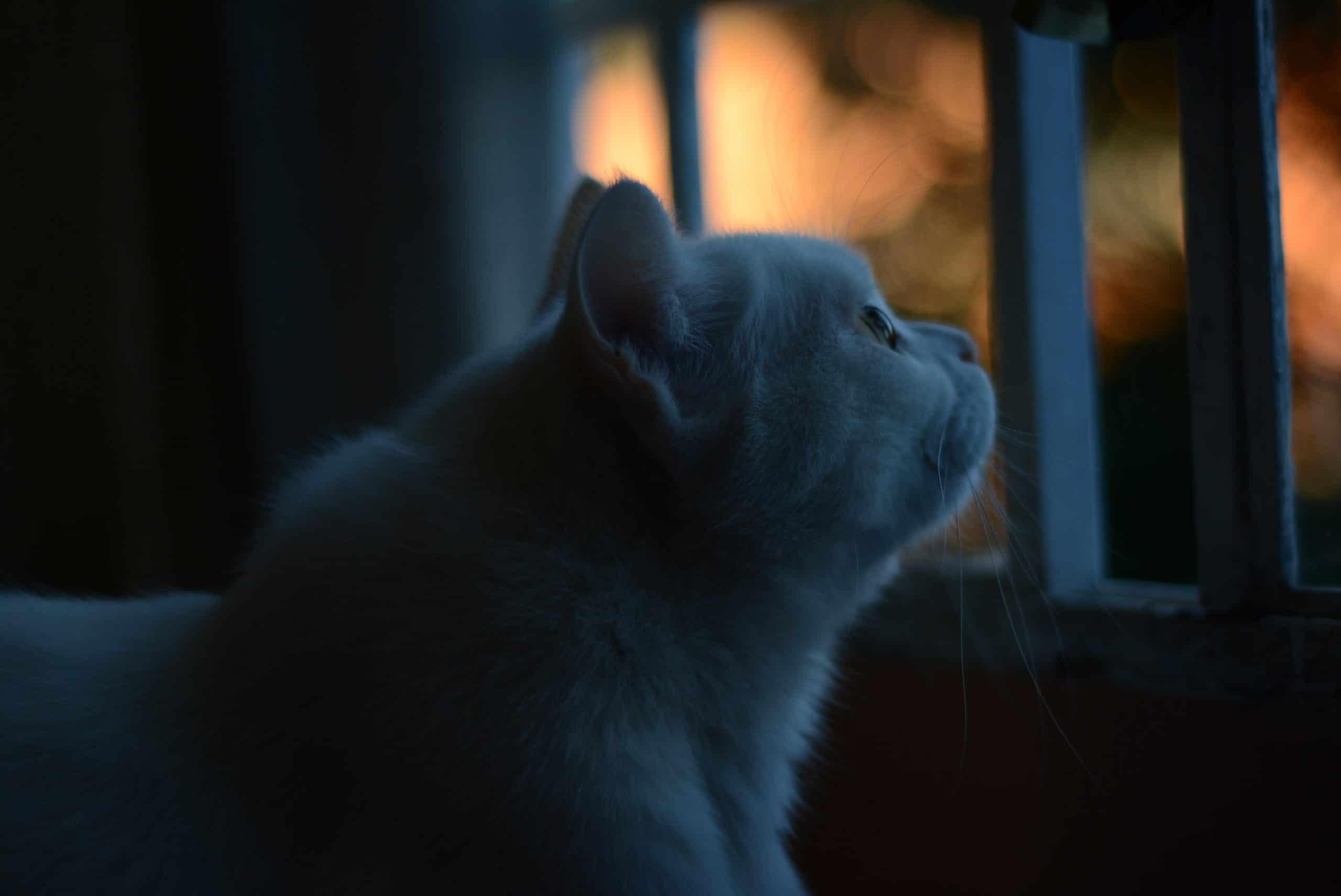Los ojos de los gatos brillan al anochecer